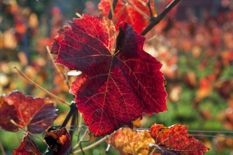 Unser Weingarten im Herbst: Da verfärben sich die Weinblätter rot.