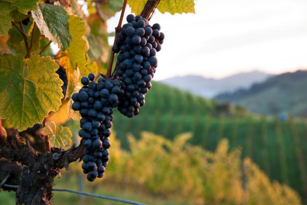 Weingut Tauss Ausblick in den Weingarten
