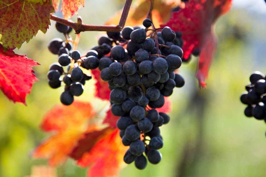 Weintrauben, biologisch-dynamisches Weingut Tauss