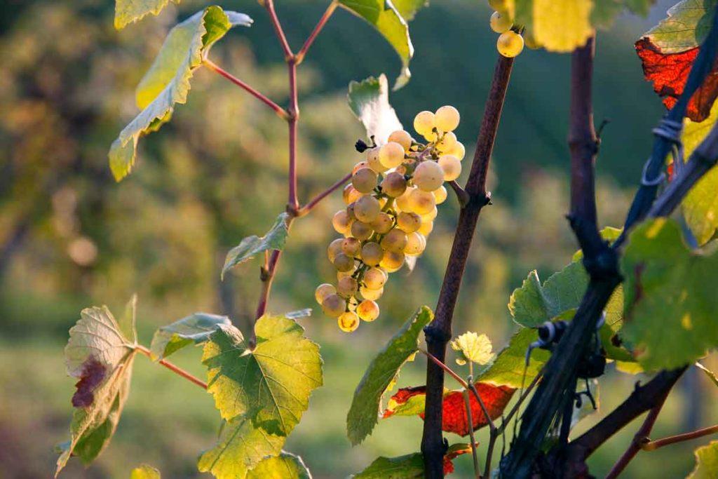 Weingarten im Herbst, Weingut Tauss